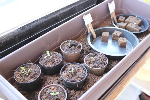Foto inteira do berçário. No cantinho esquerdo da foto são 6 mudinhas de alface, que germinaram na espuma fenolica, mas decidimos planta-las em terra.